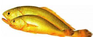 寧德大黃魚批發|寧德魚苗養殖