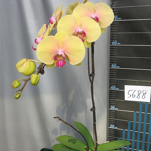 漳州JB5688蝴蝶兰