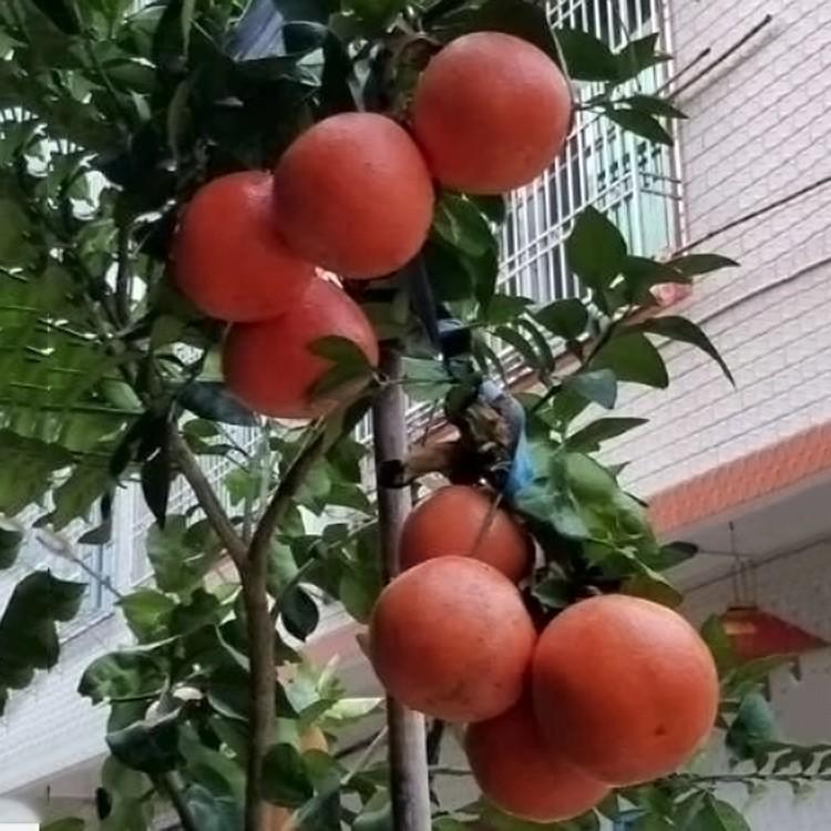 漳州红宝石葡萄柚苗
