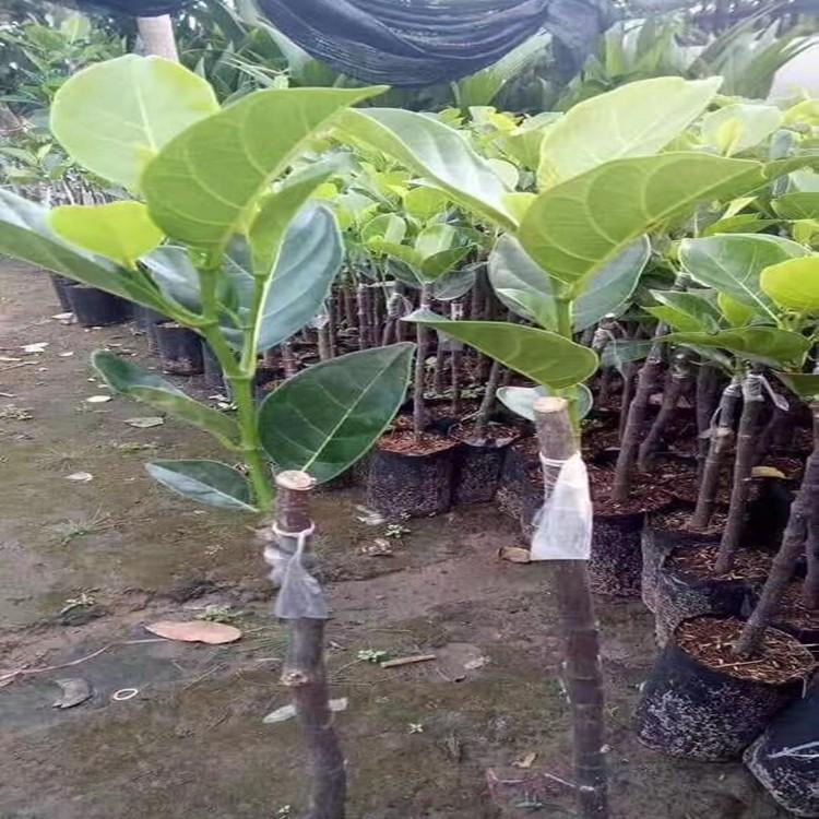 漳州越南紅肉菠蘿蜜