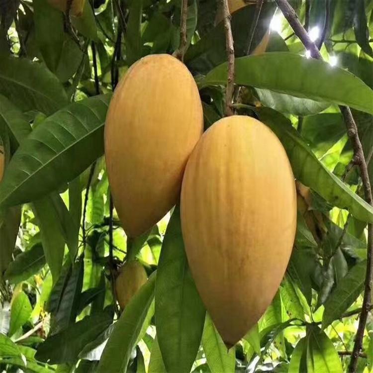 漳州蛋黃果