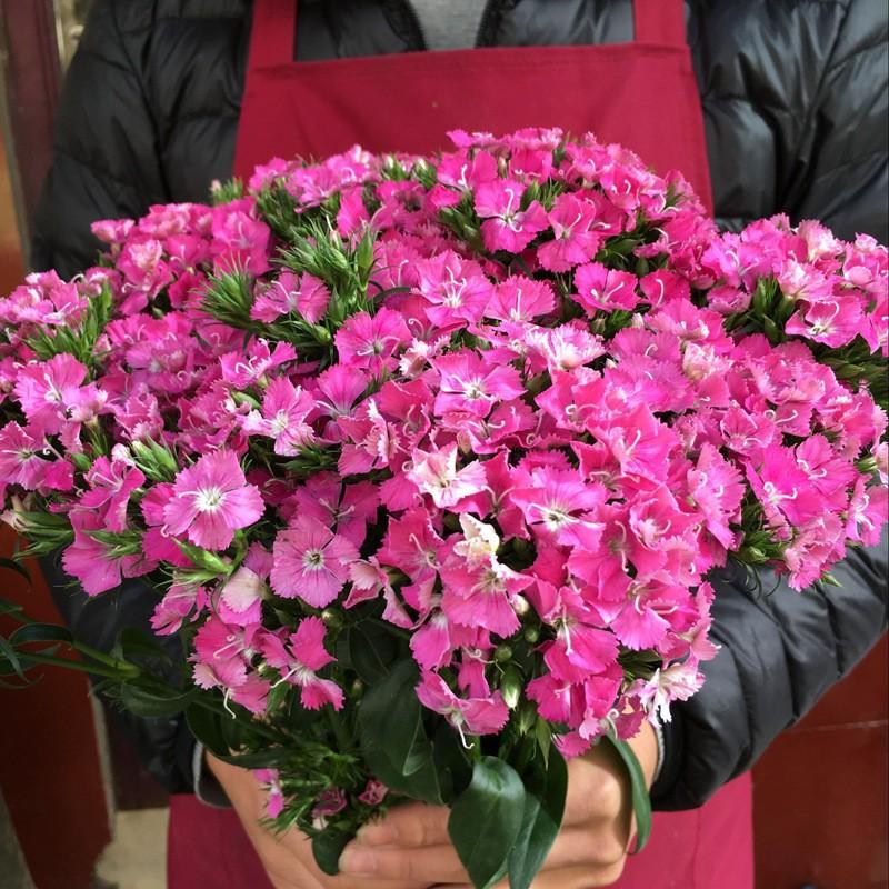 漳州龍海多品種多花色的石竹批發